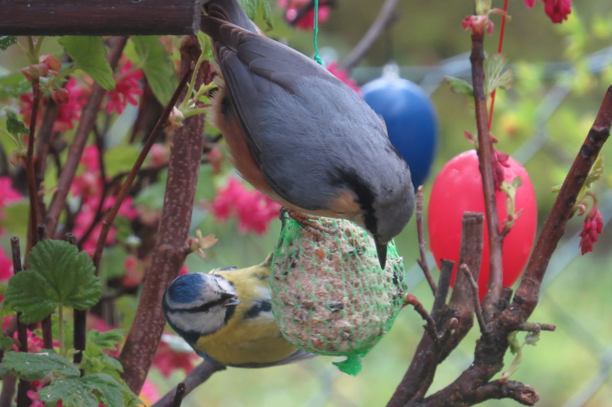 Animal Themes Beauty In Nature Bird Birds In My Garden Bush Easter Eggs Focus On Foreground Food Outdoors Plant Two Birds