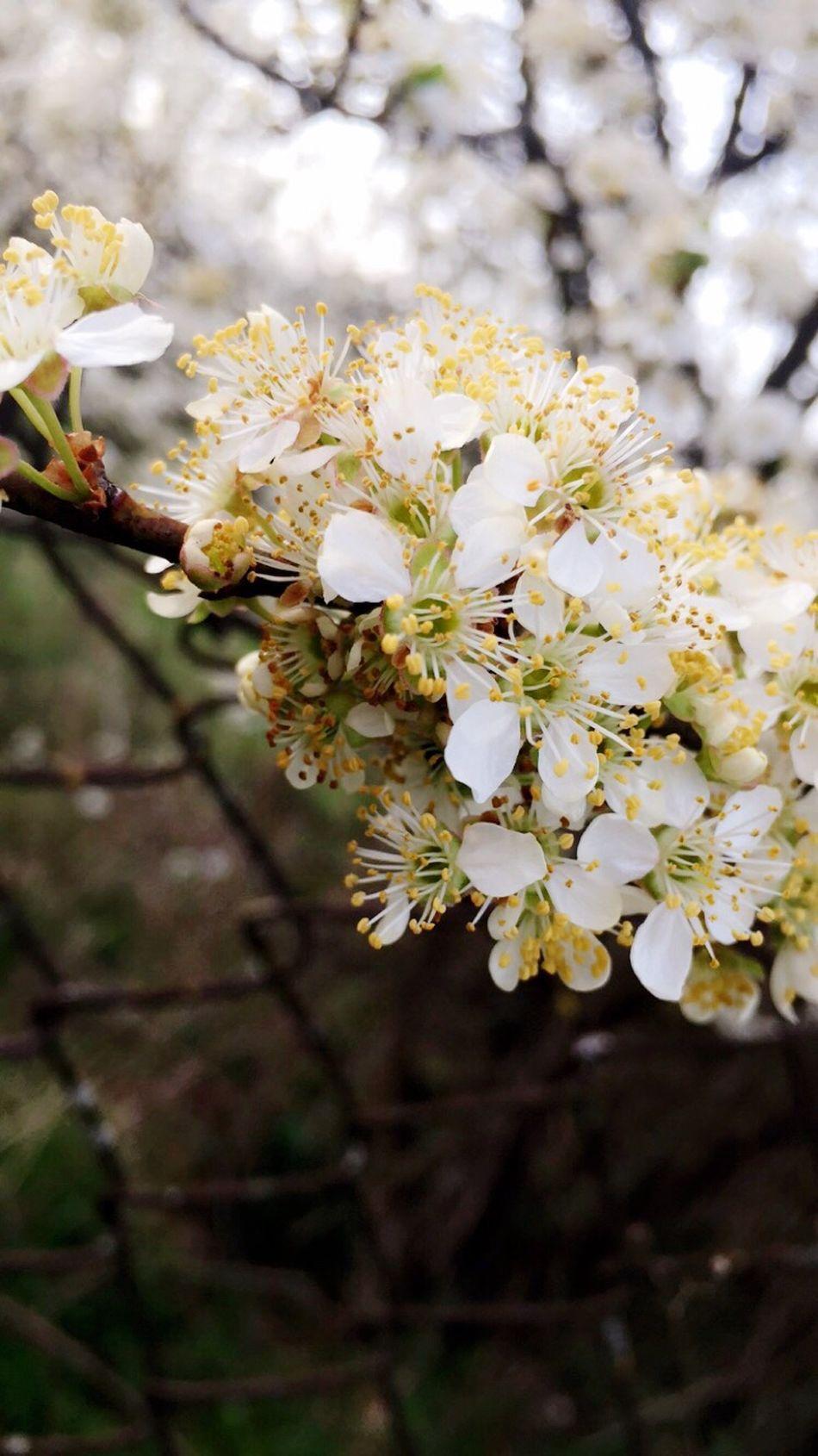 Adinafrasinphotography OpenEdit Spring Springtime Beautiful Beautiful Nature Outdoors Flowers Spring Flowers Photography White Flower White
