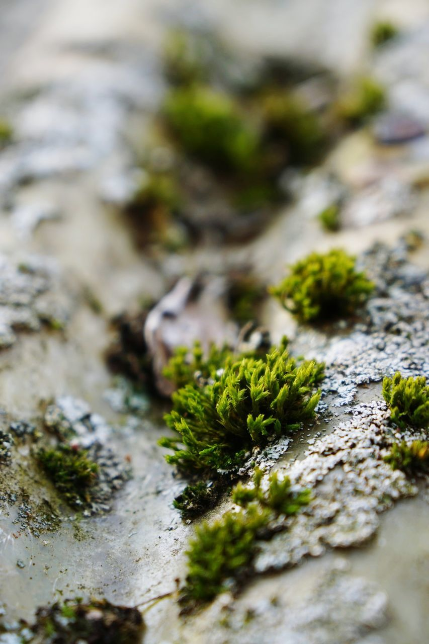 selective focus, moss, close-up, no people, green color, lichen, nature, day, growth, freshness, food, fungus, outdoors