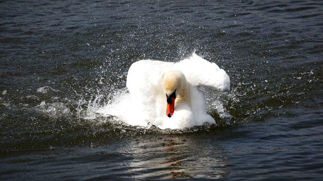 Schwan  Swan Schwanentanz Frühjahrsputz Springtime Animals Munich Bavaria