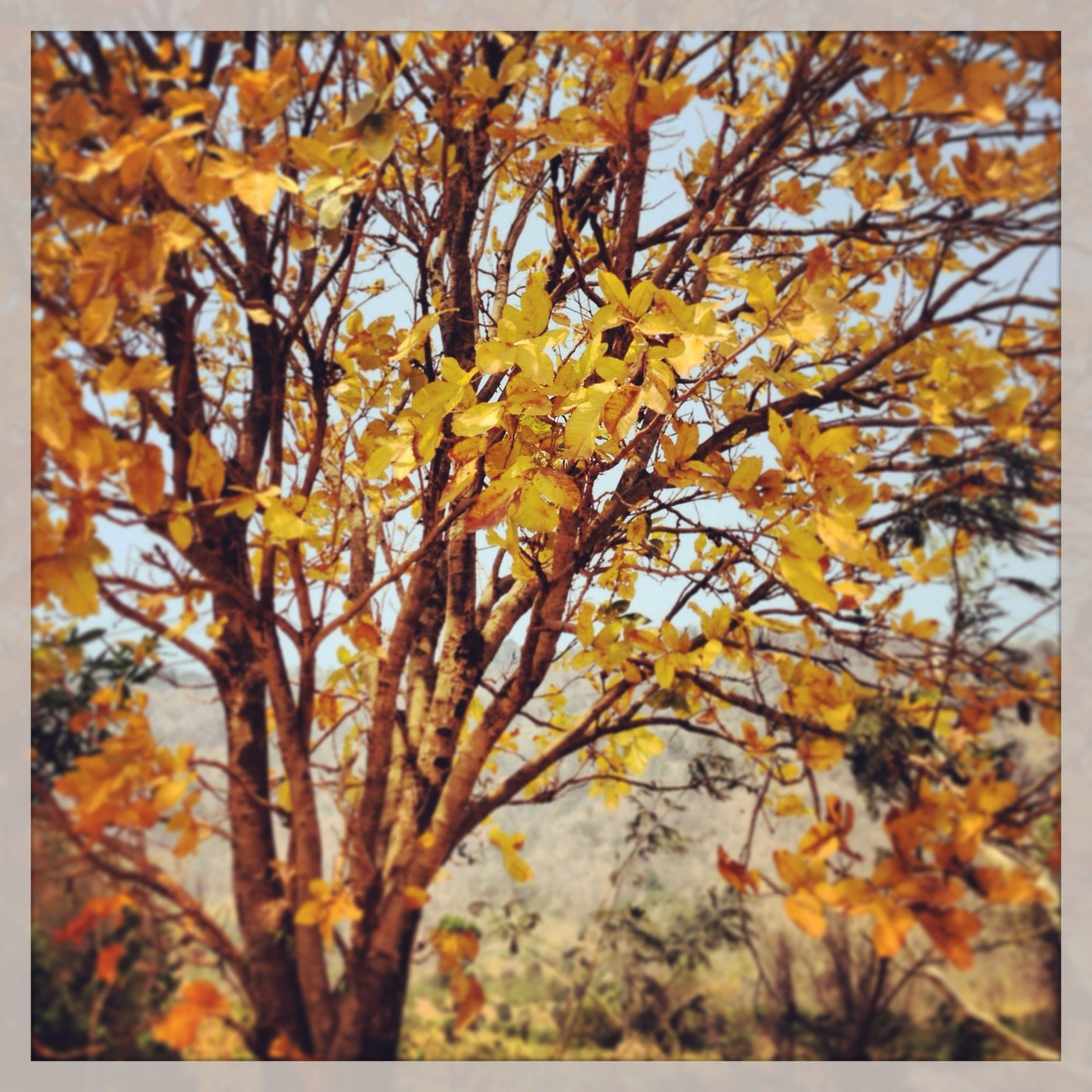 transfer print, autumn, change, season, yellow, tree, auto post production filter, branch, leaf, growth, nature, beauty in nature, low angle view, full frame, day, close-up, outdoors, orange color, backgrounds, fragility