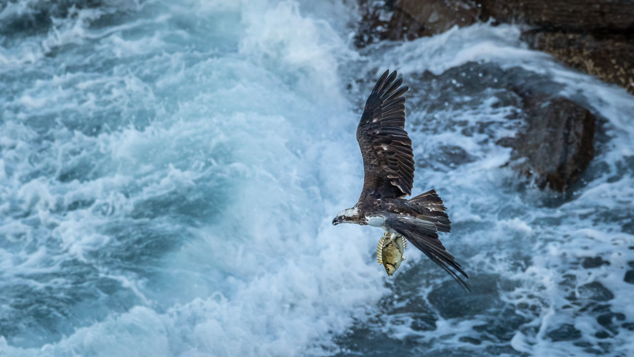 Beautiful stock photos of adler,  Agility,  Animal Themes,  Animal Wildlife,  Animals In The Wild
