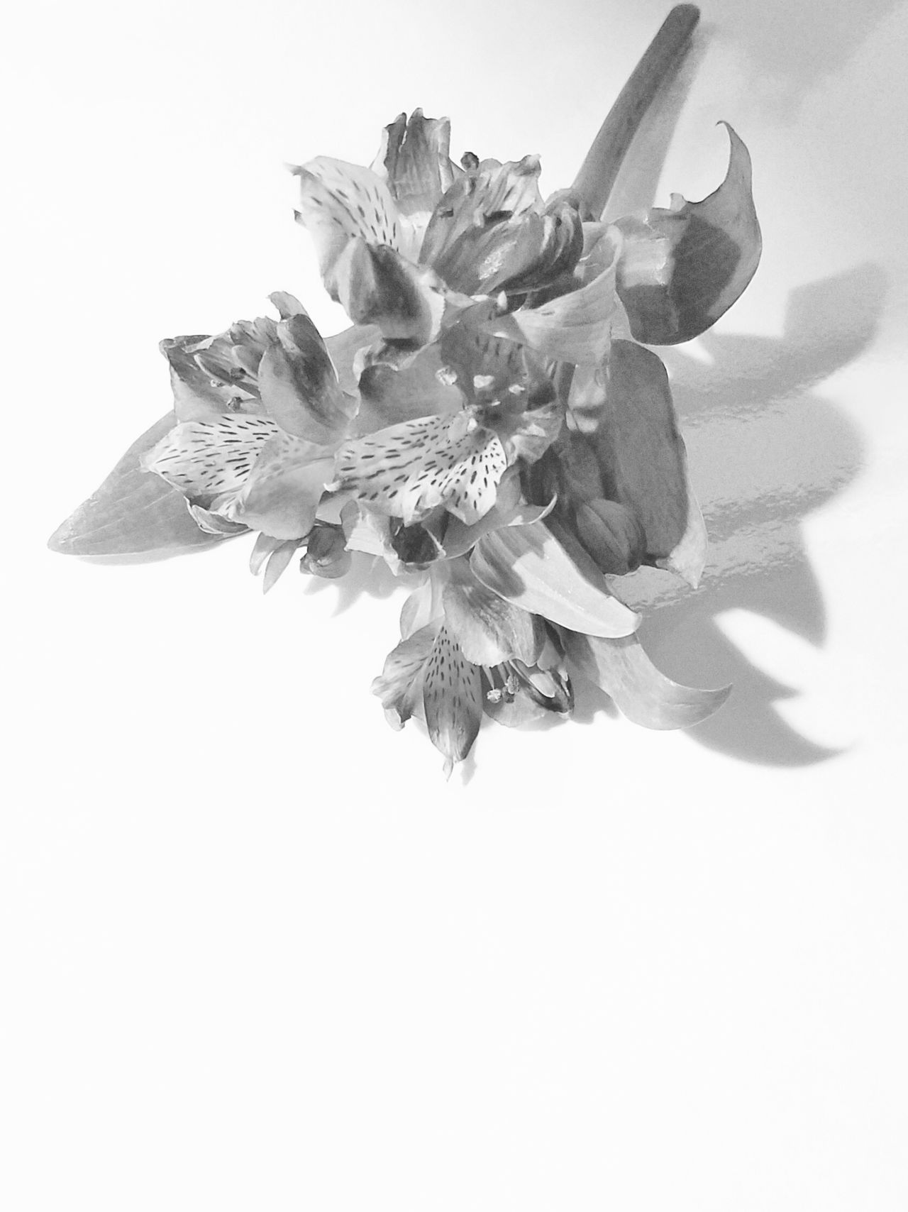 B&W Flower Stem Beauty In Nature Close-up Day Delicate Beauty Flower Flower Head Fragility Freshness MUR B&W Nature No People Outdoors Petal The Song Of Light White Background Wilted Plant