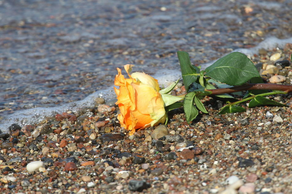 Beach Close-up Day Flower Flower Head Fragility High Angle View Nature No People Outdoors Water Yellow Rose