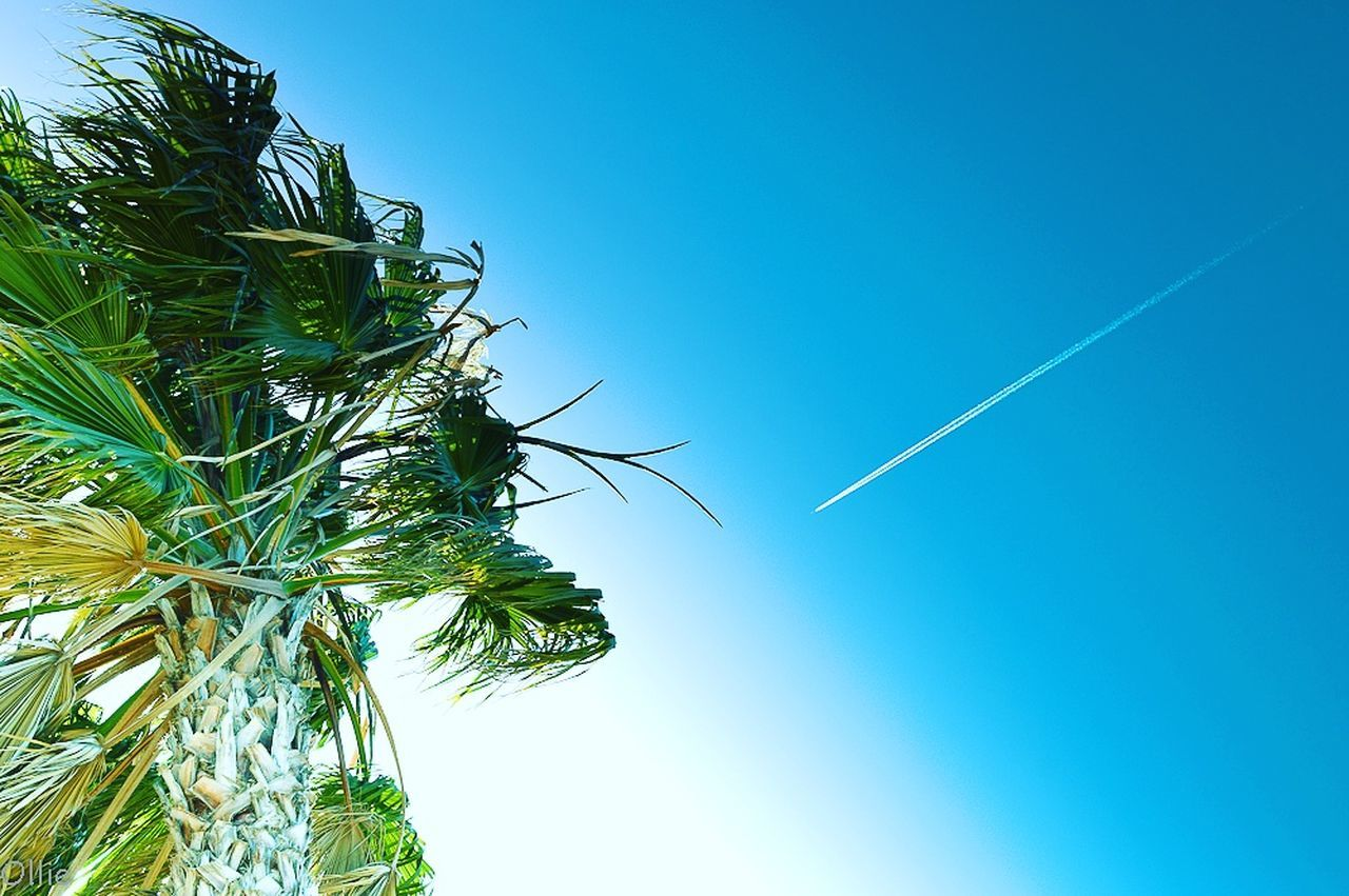 clear sky, blue, low angle view, nature, contrail, vapor trail, day, no people, beauty in nature, growth, green color, tree, outdoors, sky, plant, leaf, scenics, palm tree, close-up