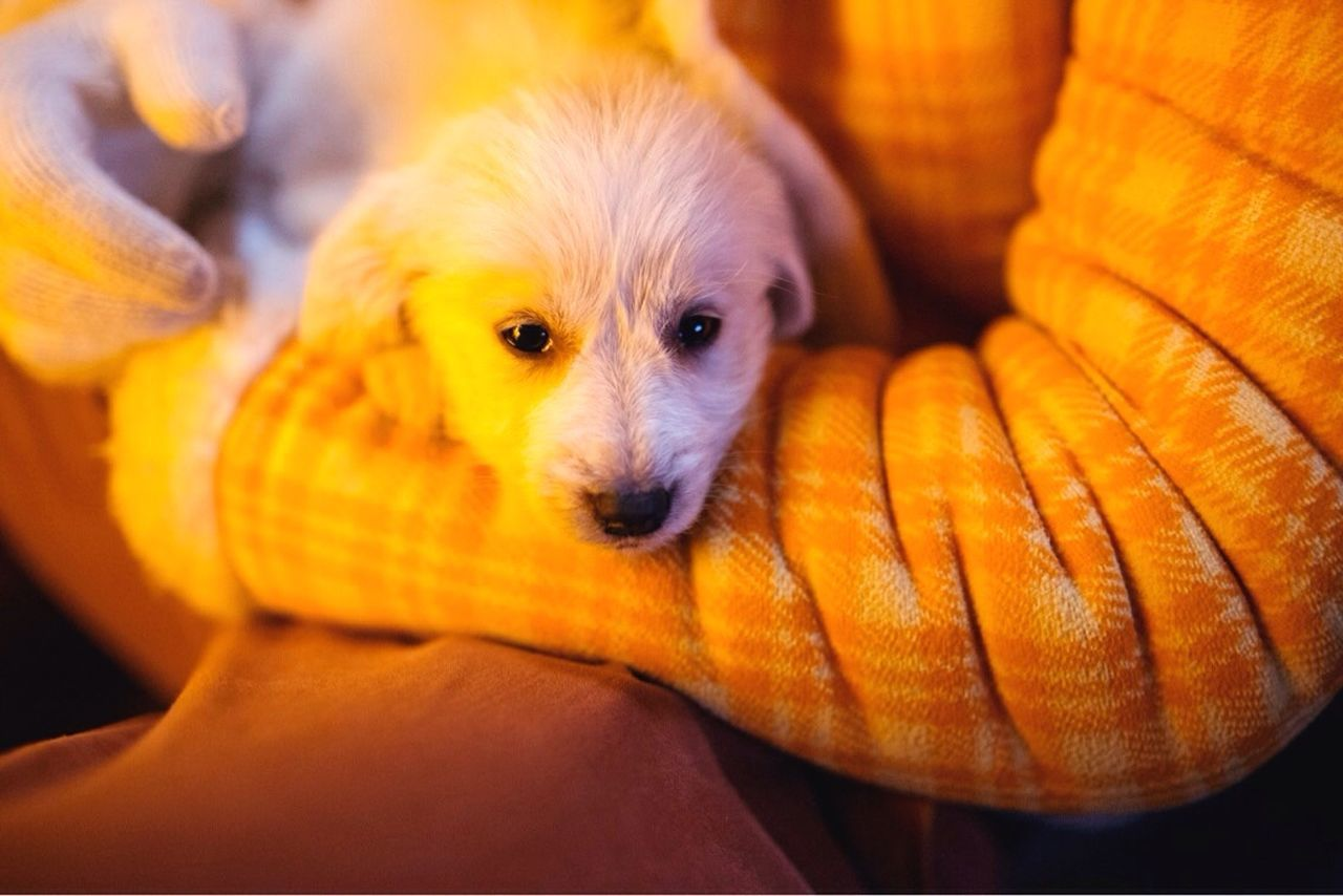 Domestic Animals Pets Animal Themes Mammal Dog Portrait One Animal Indoors  Close-up Chihuahua - Dog Human Hand Human Body Part Day