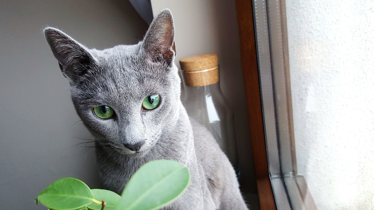 Those eyes! Leeloo RussianBlue Russianbluecat Cat Kitty Cat Eyes Catsofinstagram