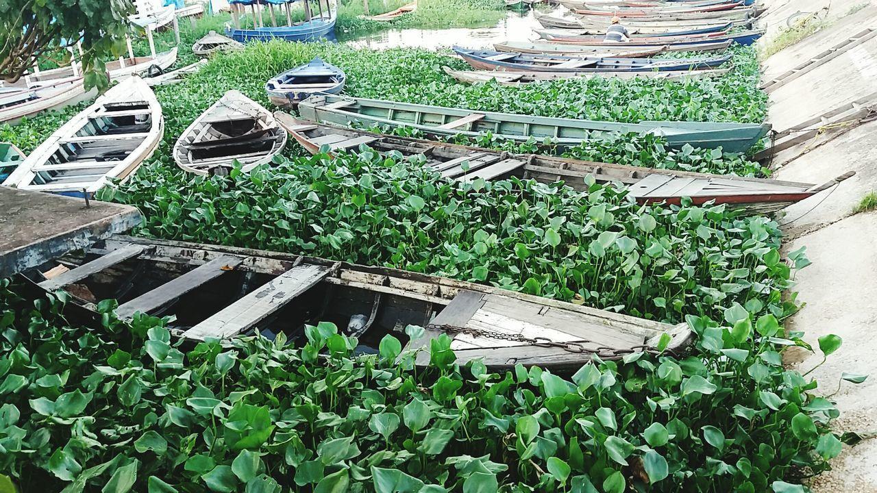 Canoas e vegetação do Rio Tapajós. Beira rio cidade de Santarém- Pará- Brasil Green Color Plant Nature Barcos No Rio