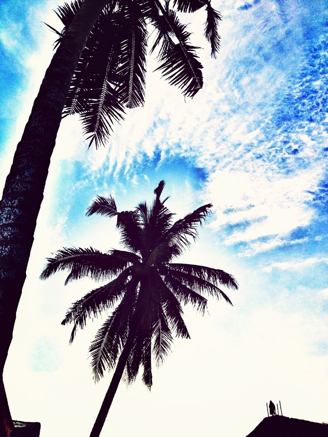 Palm Trees and Clouds Backgrounded by Blue Sky.