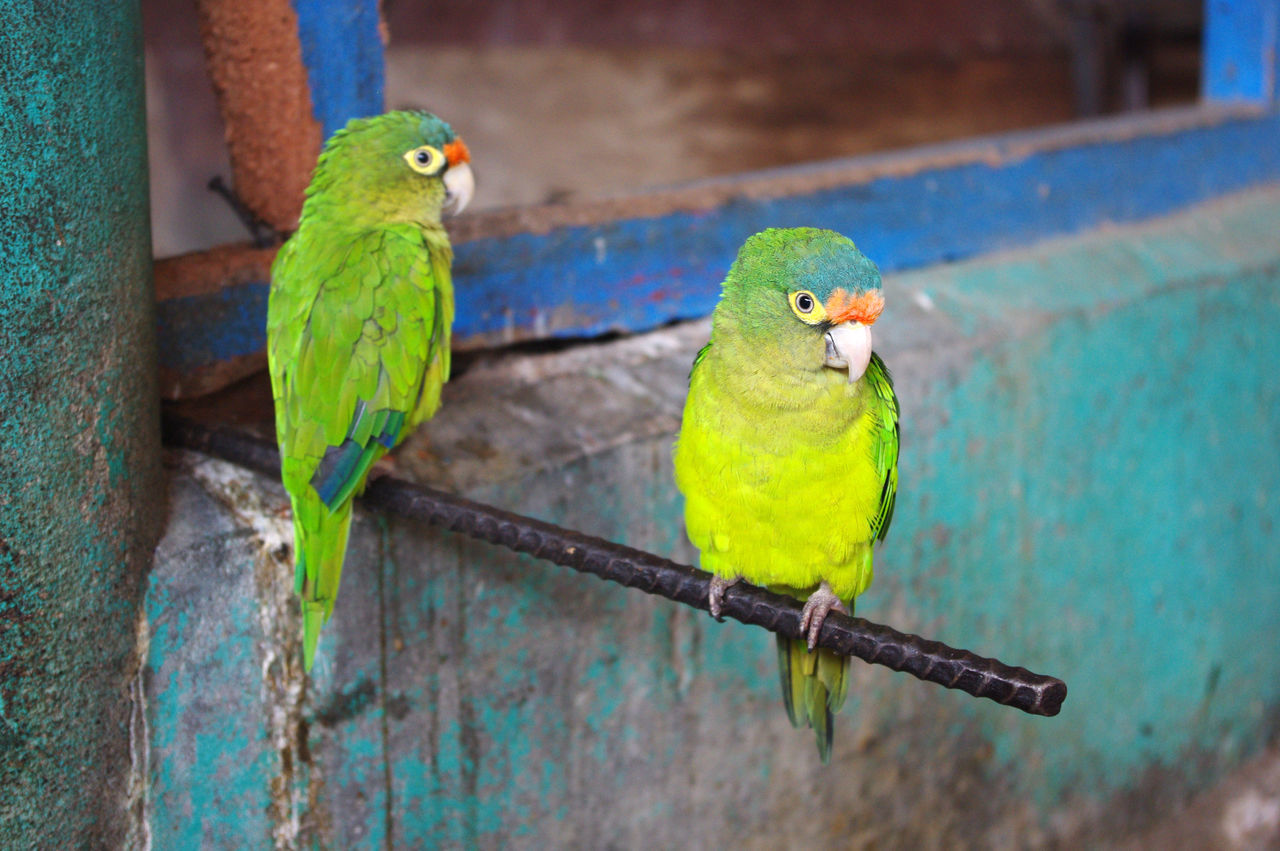 Animal Wildlife Beauty In Nature Bird Costa Rica Green Birds Green Color Green Parrot Green Parrots Nature Parrot Two Birds Two Parrots