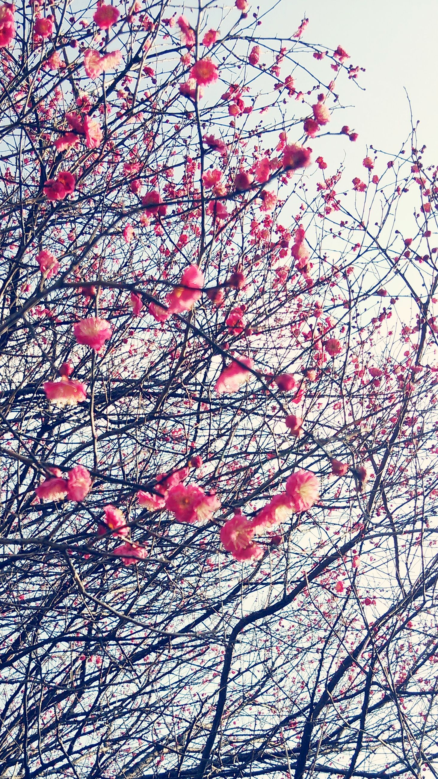 branch, low angle view, tree, clear sky, growth, nature, red, bare tree, sky, beauty in nature, flower, day, outdoors, no people, season, pink color, decoration, autumn, tranquility, change