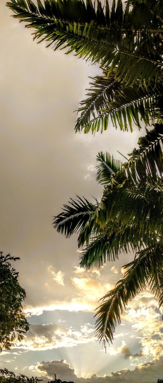 tree, palm tree, nature, beauty in nature, scenics, low angle view, tranquility, no people, sky, tranquil scene, leaf, branch, outdoors, growth, day, sunset