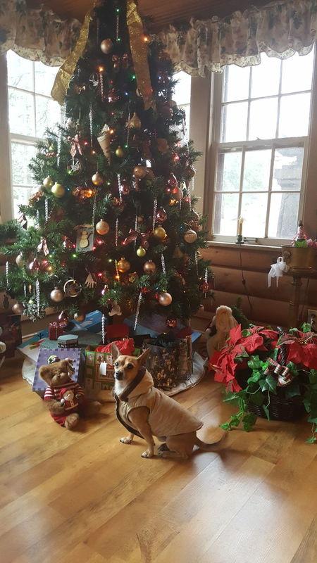 Christmas Dogs Of EyeEm Dogslife Dog❤ Doglife Chihuahua Mydogisthebestintheworld Mydogiscoolerthanyourkids Fontana WI Ilovemydog Doggy My Pet Pet Photography  Dogofeyeem DogLove Dogoftheday Peanut Petlove