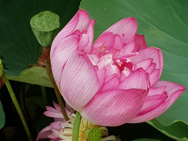 No People Leaf Flower Pink Color Petal Plant Nature Beauty In Nature Fragility Freshness Flower Head Lotus Water Lily Close-up Beauty Water Lily Growth Peony  Outdoors Day