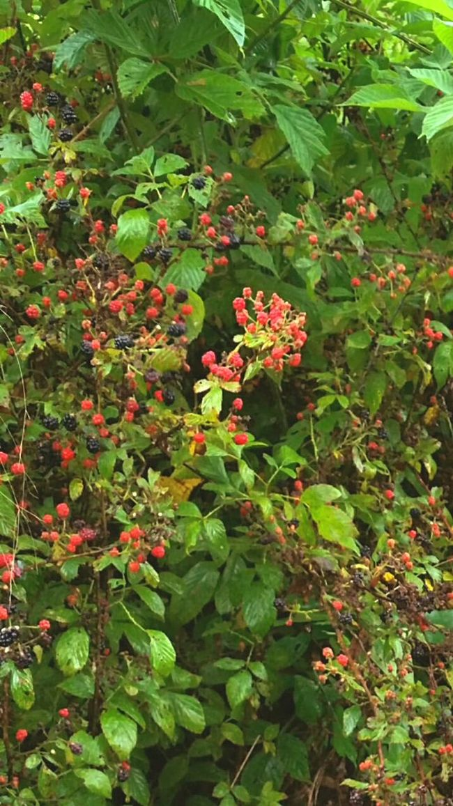 Youth Of Today Wild Black Berry Dew Berries Summer Fruit Mississippi  Nature's Fruit watch for Thorns Nature Photography