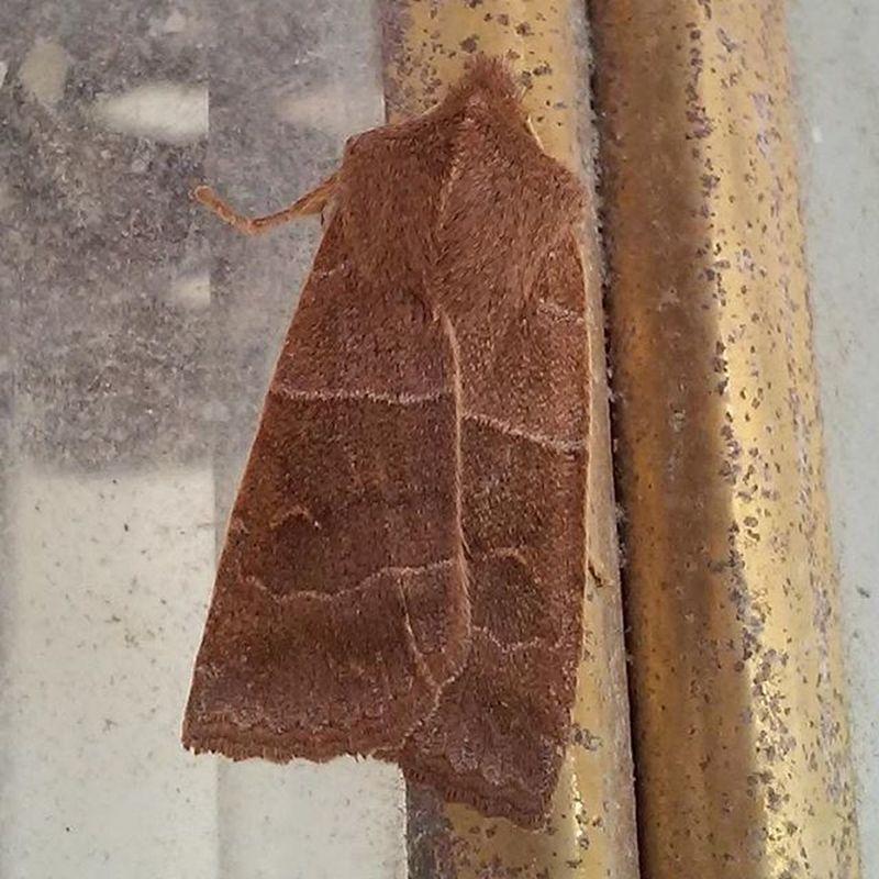 Another moth Mothsofinstagram Moth Brownmoth Thingsthatfly Ilovebugs