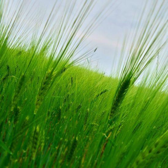 Mik_azentavaszom Mik Ikozosseg Hungary Hungarian Magyarország Ig_hun Naturelovers Nature Naturelover Green Love Ptk_nature_challenge Ptk_flowers Like Nagykanizsa Wheat Cornwall Cornfield