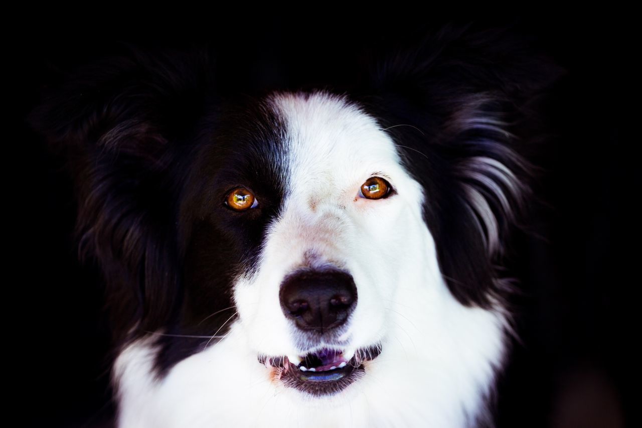 Milka, Border Collie Black Background Pets Looking At Camera Dog Close-up Portrait Animal Themes Dog Food Shadows & Lights Canon 70-200 F4 Canonphotography Canon T5i Eyes Watching You Eyes Sight Peek Peekaboo Domestic Animals
