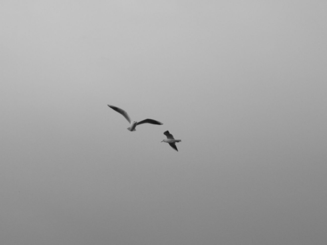 Seagulls Skyporn Freedom Airphotography Blackandwhite Netherlands Tholenski