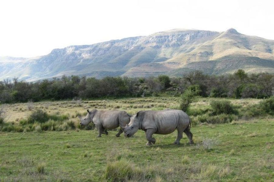 Encountered these two Rino in South Africa! Sky Relaxing Rino Scenic Majestic Beautiful Nature Mountain (null)Grass Trees Wildlife Wild Animal
