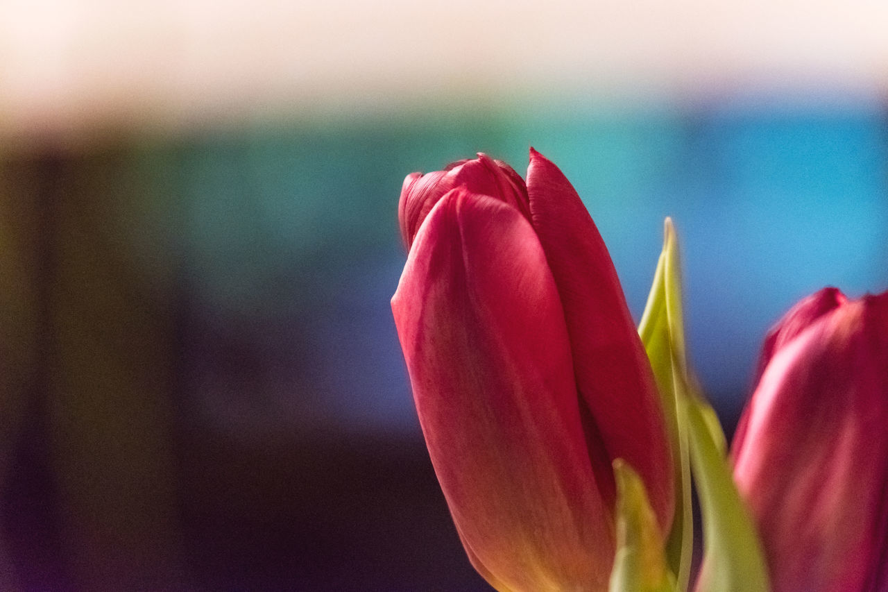 Backgrounds Beauty In Nature Close-up Copy Space Cut Off  Day Flower Flower Head Focus On Foreground Fragility Freshness Growth Indoors  Macro Nature No People Petal Plant Red Springtime Tulip Tulips