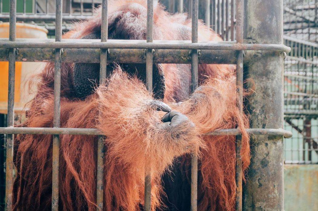 Peter The Orangutan Animal Themes Cage Mammal Animals In Captivity One Animal Domestic Animals Zoo Livestock No People Close-up Trapped Day Outdoors Nature Security Bar Orangutan Ape