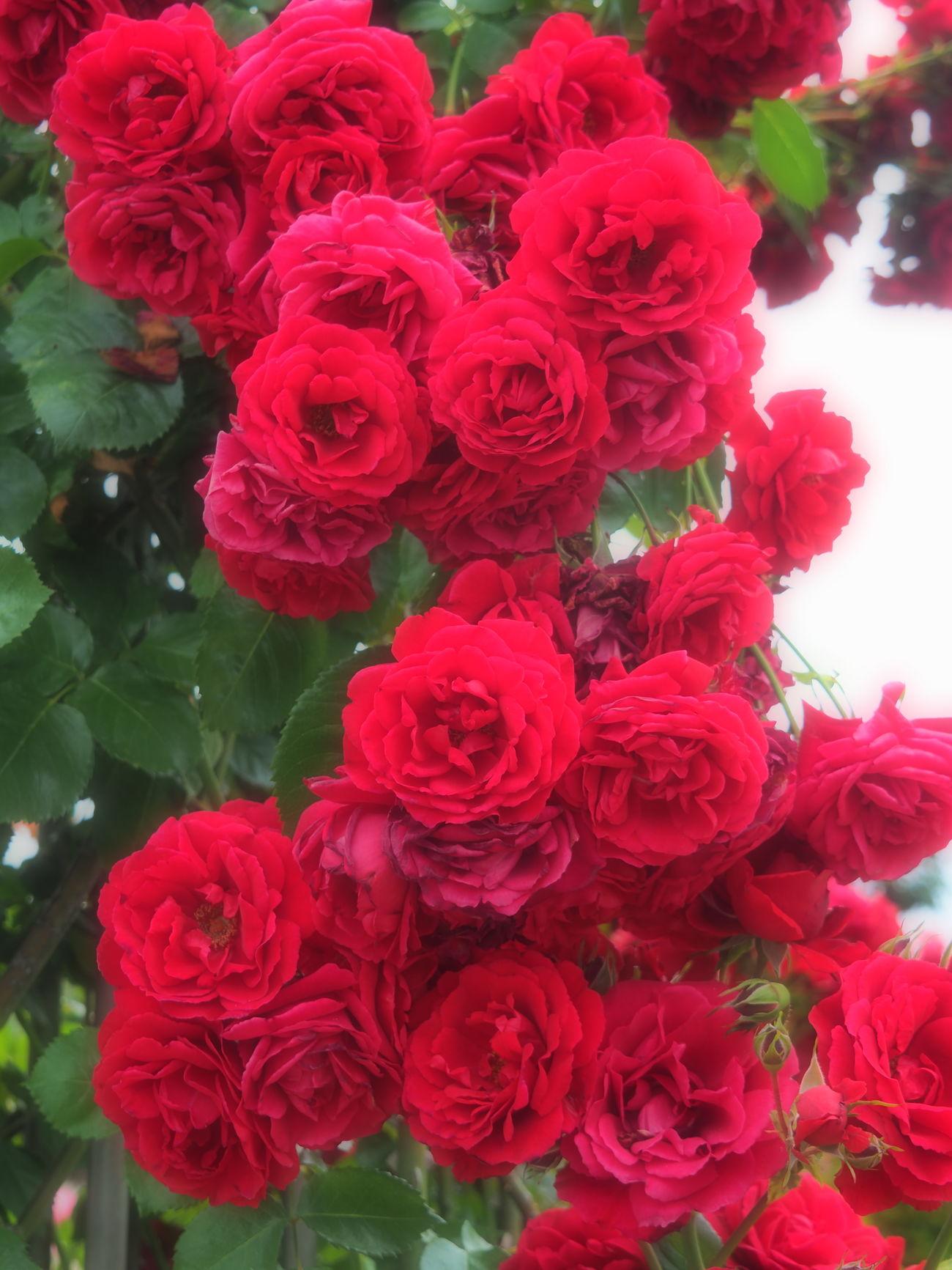 EyeEmFlower Goodmorning Goodmorning :) Goodmorning EyeEm  Goodmorning ♥ GoodMorning⛅ Hello Hello EyeEm Hello Word ✌ Hello World Hello World ✌ Hello World ❤ Hello World! Hello ❤ HelloEyeEm Helloworld Red Flower Red Roses RedFlower Rose - Flower Roses🌹 Rose♥ Rose🌹