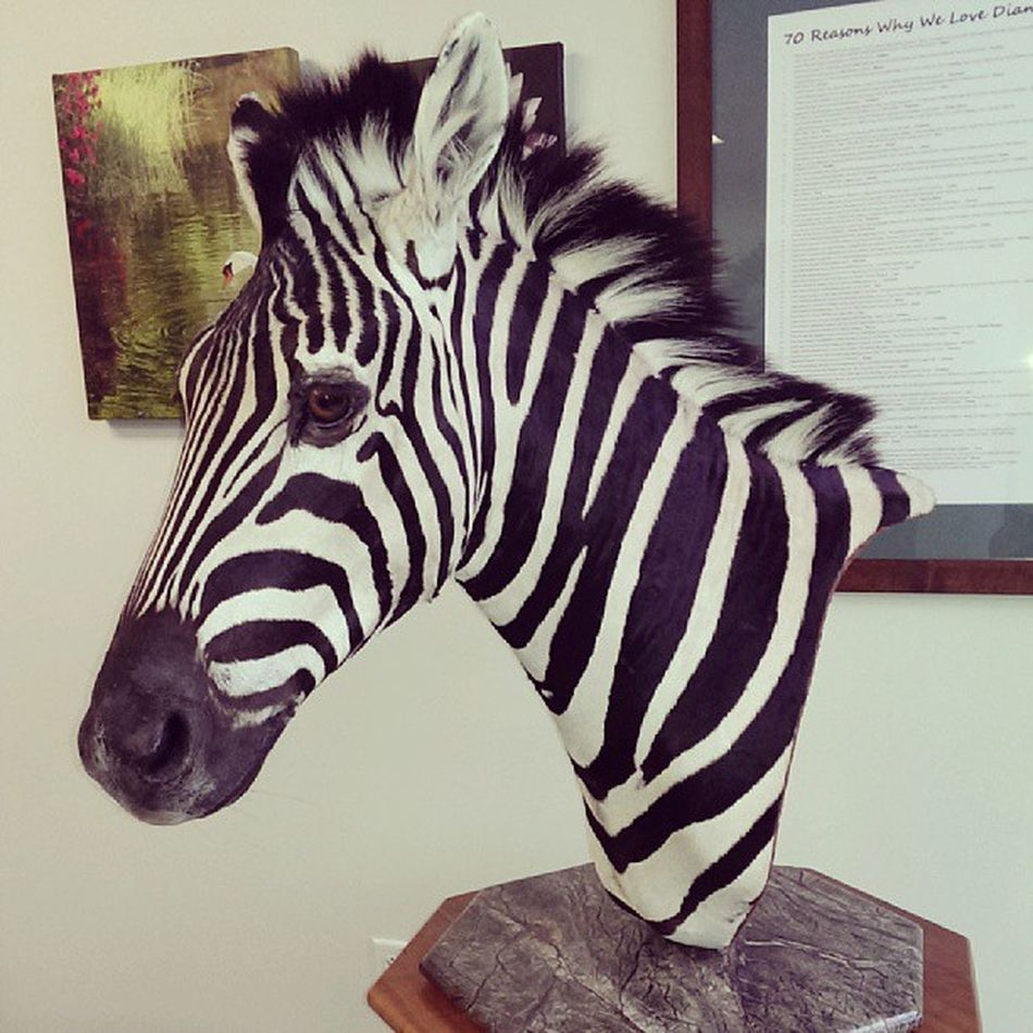 There is now a Cool Zebra HEAD on Display in my Bosses Office :) I keep waiting for him to Blink ;) Hunting Trophy Scary Staringatme