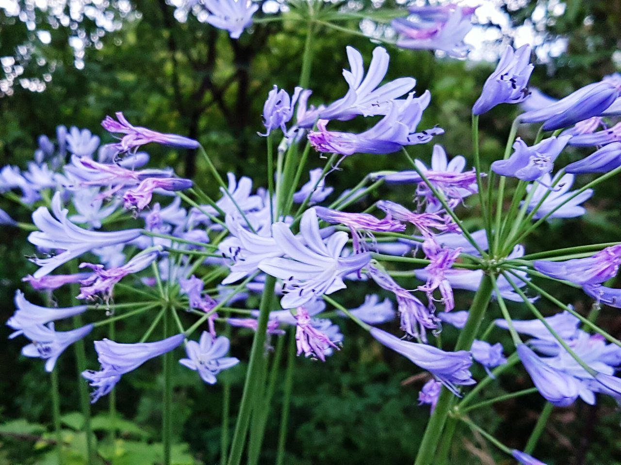Flower Nature Beauty In Nature Focus On Foreground Plant Purple Blue Blue Flowers Agapanthus Flower Head Close-up