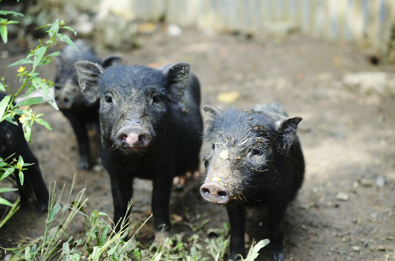 animal themes, mammal, domestic animals, livestock, pig, looking at camera, young animal, no people, day, portrait, focus on foreground, outdoors, nature, animals in the wild, piglet, close-up