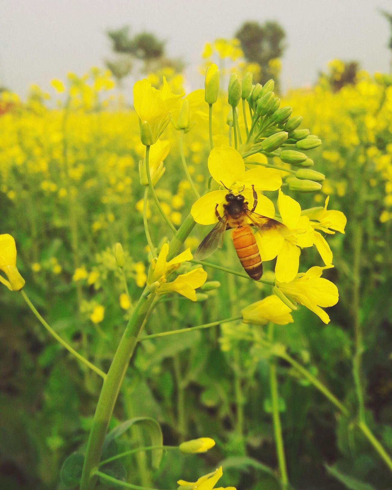 Bee 🐝 Mobilephotography Flowers Yellow Flowers Flowerporn Beautiful Withouteffect Beauty Of Nature Pakistanphotochallenge In Pakistan Eyeem Pakistan Open Edit Littleflower Nawanlahore