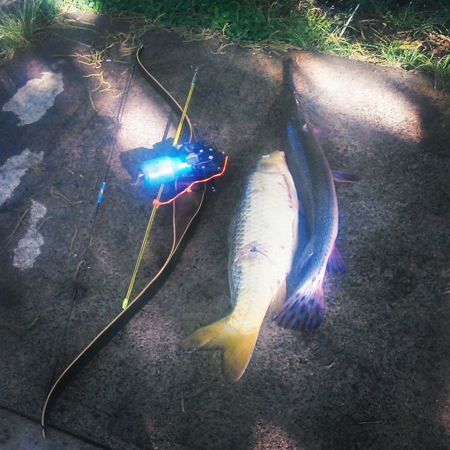 Bowfishing. Relaxing Bowfishing Bow Carp Gare Nature at my house. Livingfossil Garfish Freshwater Fish Species