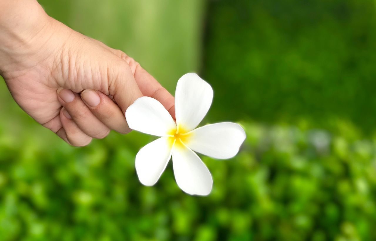 flower, human hand, white color, petal, nature, one person, beauty in nature, human body part, fragility, real people, flower head, growth, focus on foreground, holding, close-up, freshness, green color, outdoors, day, blooming, frangipani, people