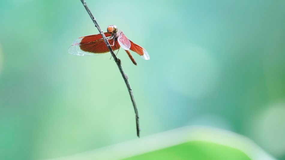 Gragonfly Red Gragonfly Insect Outdoors No People Close-up Nature Green Color Nature Park Wildlife Freshness Beauty In Nature Plant