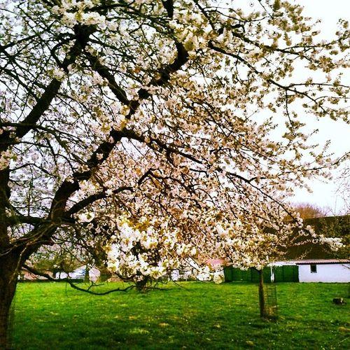 Hagenatw Hagen Kirschen  Kirschblüte kirschbluete primavera spring Frühling
