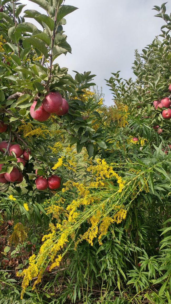 Tree Nature Outdoors Freshness Beauty In Nature Non-urban Scene Scenics Lush Foliage Day Goldenrod Farm Apple Tree Apples Seasonal Orchard Agriculture Fall Autumn Fruit