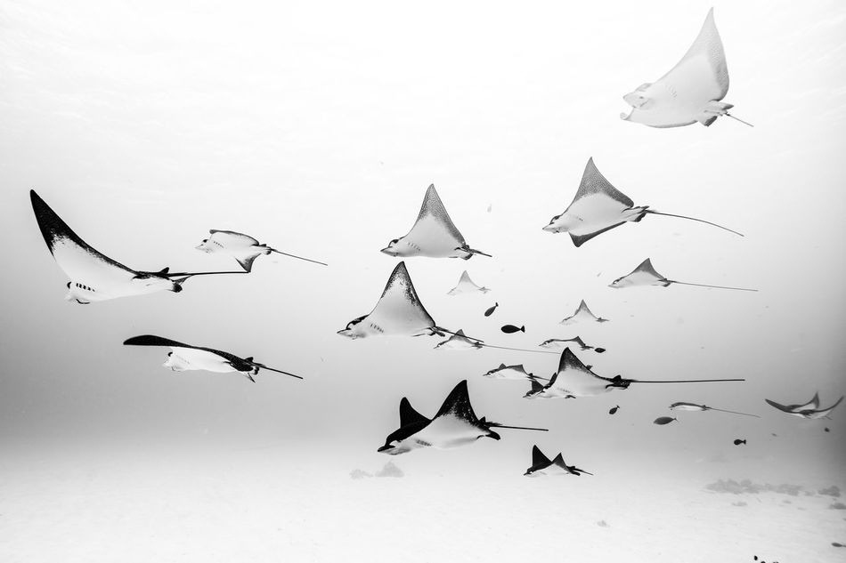 Saipan underwater life Airplane Animal Themes Animal Wildlife Animals In The Wild Bird Blackandwhite Day Eagleray Flock Of Birds Flying Large Group Of Animals Low Angle View Nature No People Outdoors Sky Spread Wings