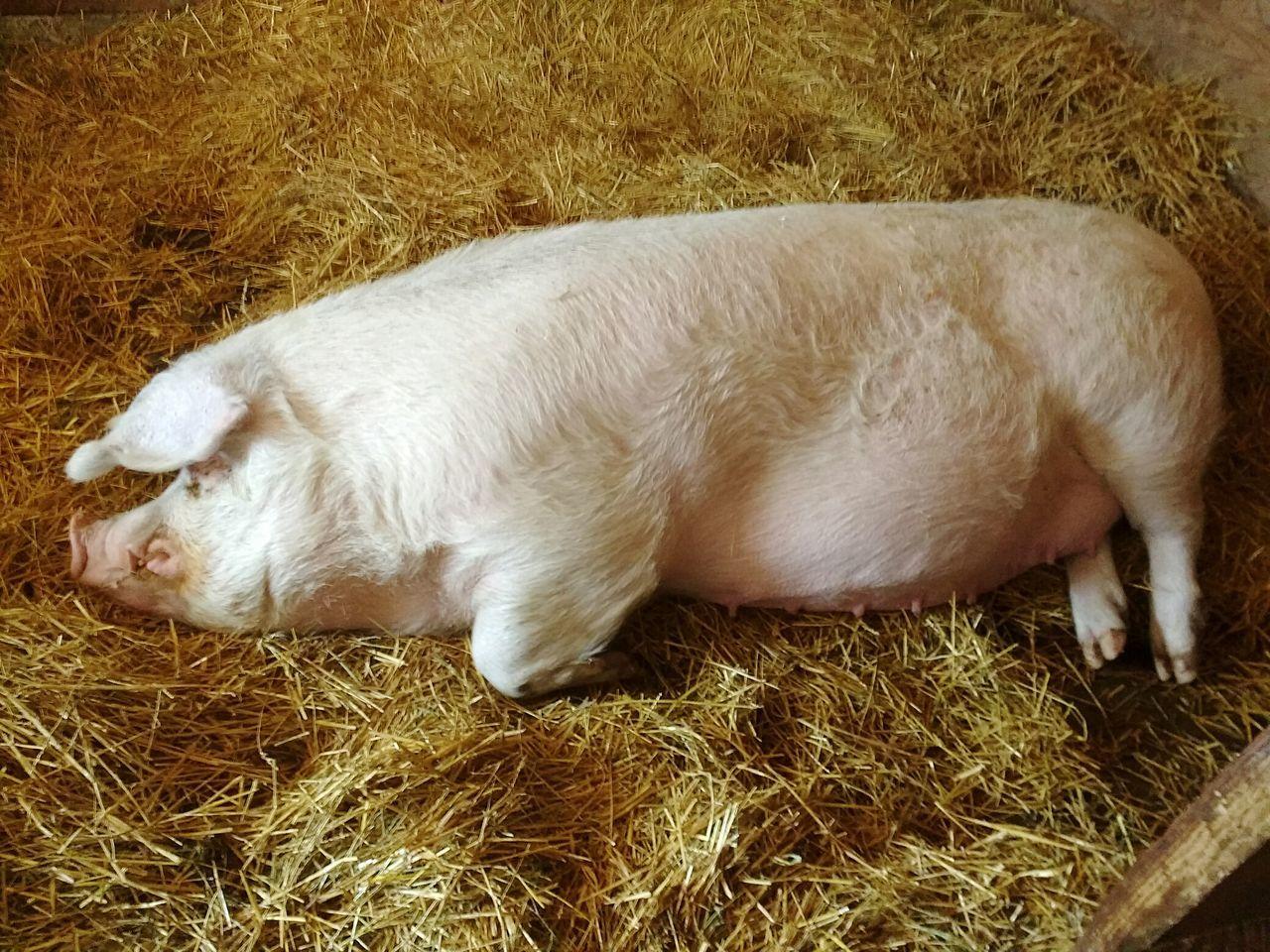 Big snoring pig Pig Sow Sleeping Pig Bed Straw Hay Piggy Oink Animal Themes Farm Zoo Toronto Islands Eye4photography  Canada Coast To Coast EyeEm Best Shots Enjoying Life Getting Inspired Toronto Popular Photos Resting Ontario Nature Relaxing Pigs♥ Pigs Of Eyeem