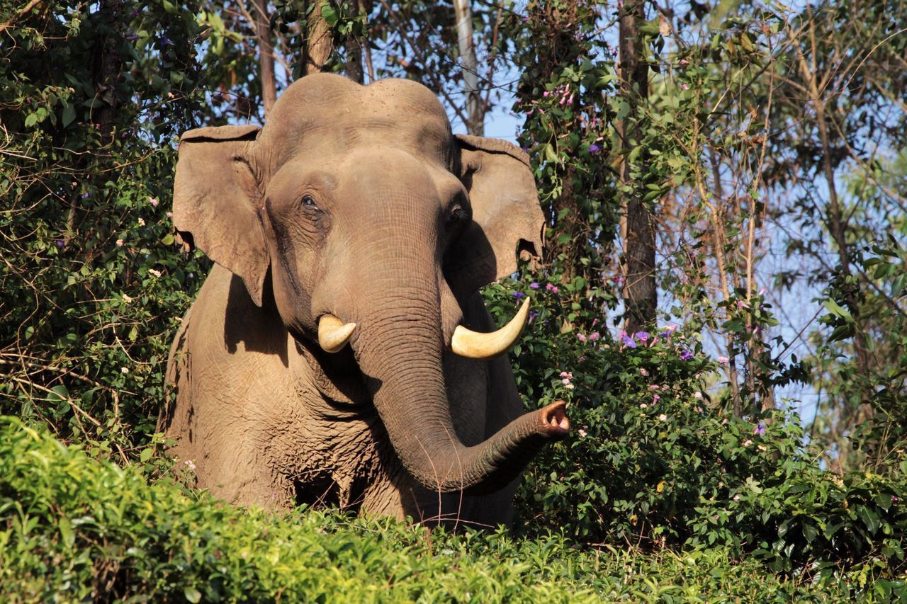 Elephant Nature Animal Animal Wildlife Mammal Outdoors One Animal Tree Animals In The Wild Animal Trunk Tusk Indian Elephant Animal Themes No People Beauty In Nature Day Wildlife Tea Plantation  Wild EyeEm Best Shots Check This Out Sunset Portrait in Munnar , India
