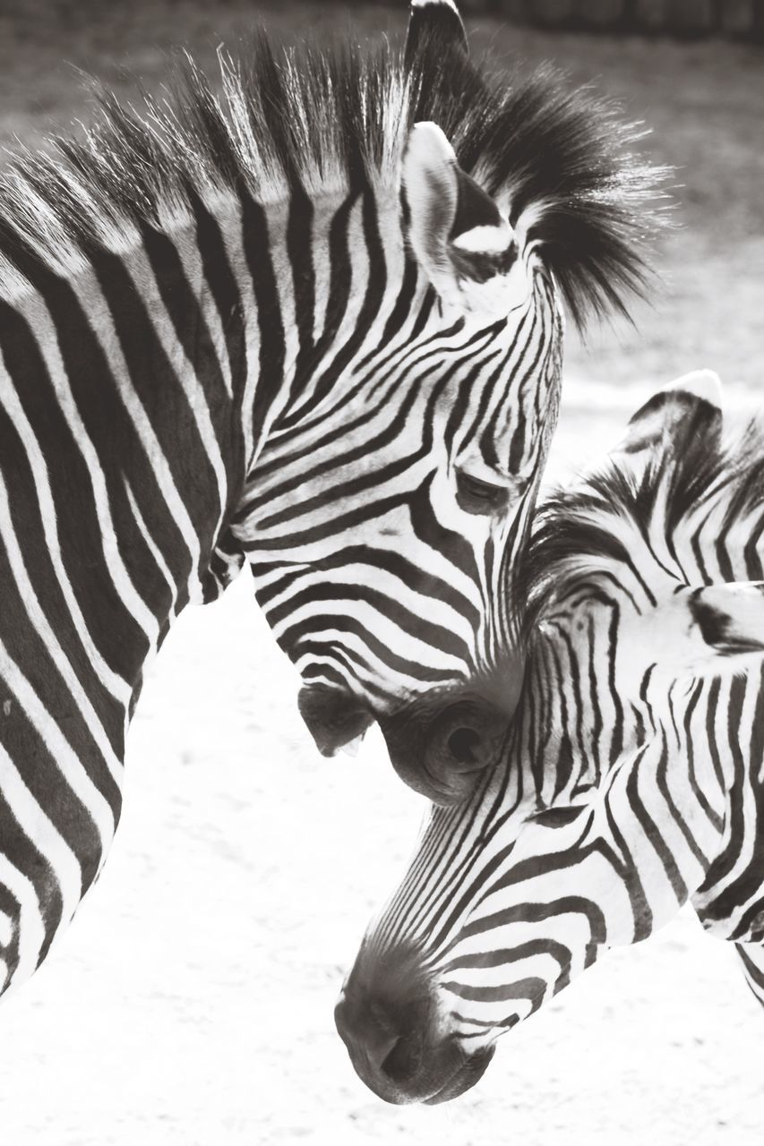 animals in the wild, animal themes, zebra, striped, animal wildlife, mammal, animal markings, no people, outdoors, day, nature, safari animals, close-up
