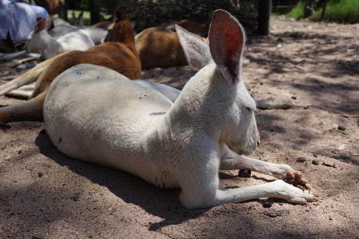 EyeEm Selects Albino Kangaroo Kangaroo Sand Lying Down Sleeping Animal Themes Relaxation Close-up Outdoors Day Nature Wildlife Caversham Wildlife Park Whiteman Park Western Australia