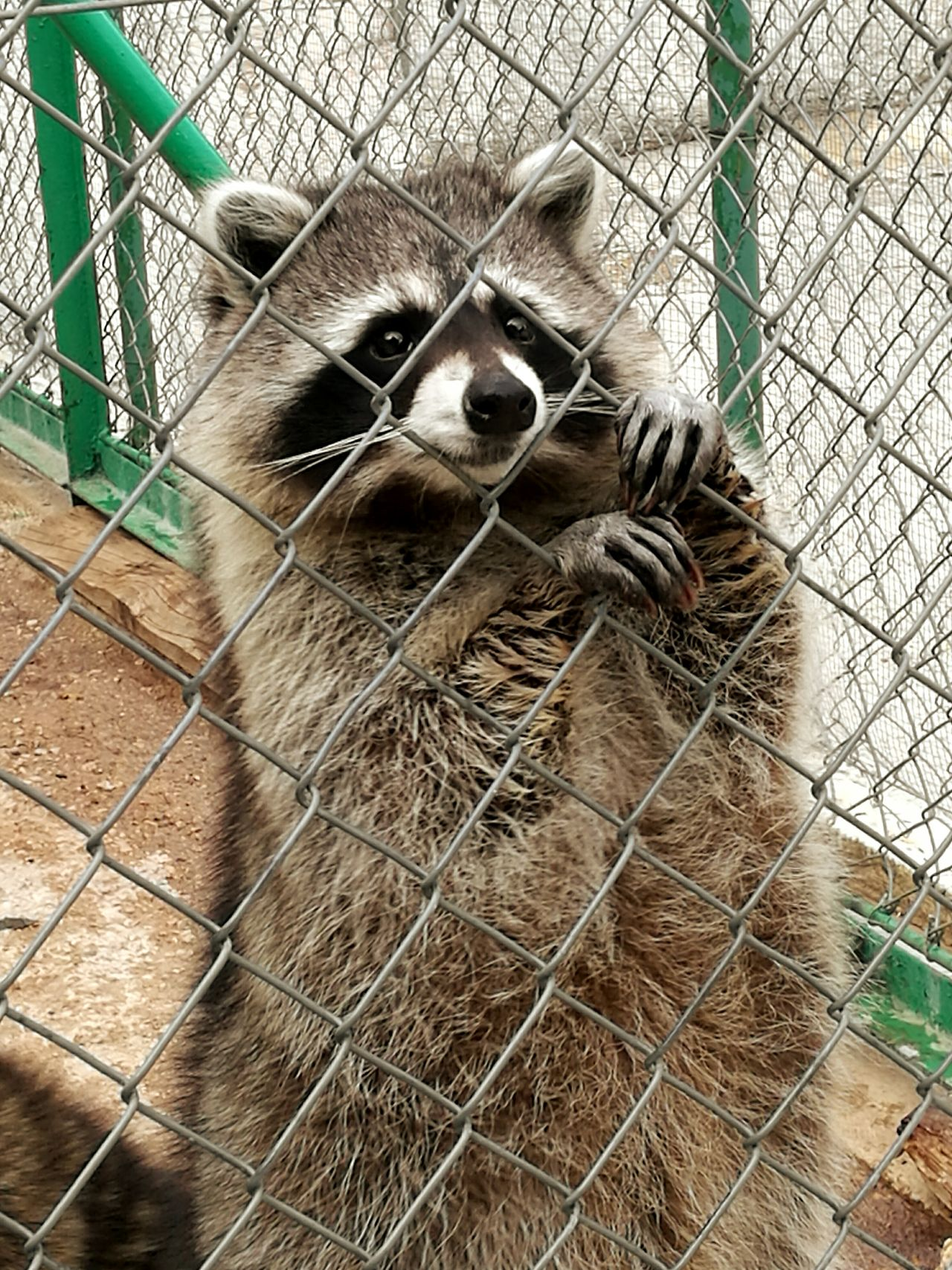 One Animal Animal Themes Animals In Captivity Wildlife Zoo Close-up Outdoors Toulon Faron Ratton Laveur