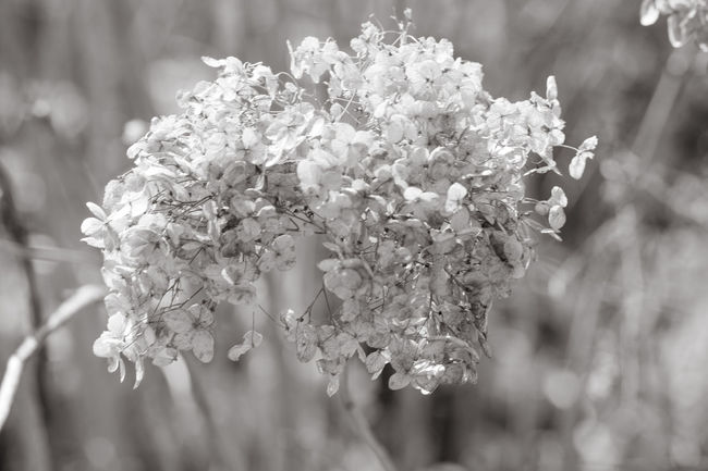 Beautiful Beautiful Nature Black & White Black And White Delicate Delicate Flowers Flowers Fragile Fragility Nature Nature On Your Doorstep Flower Ball Shrubs Shrub