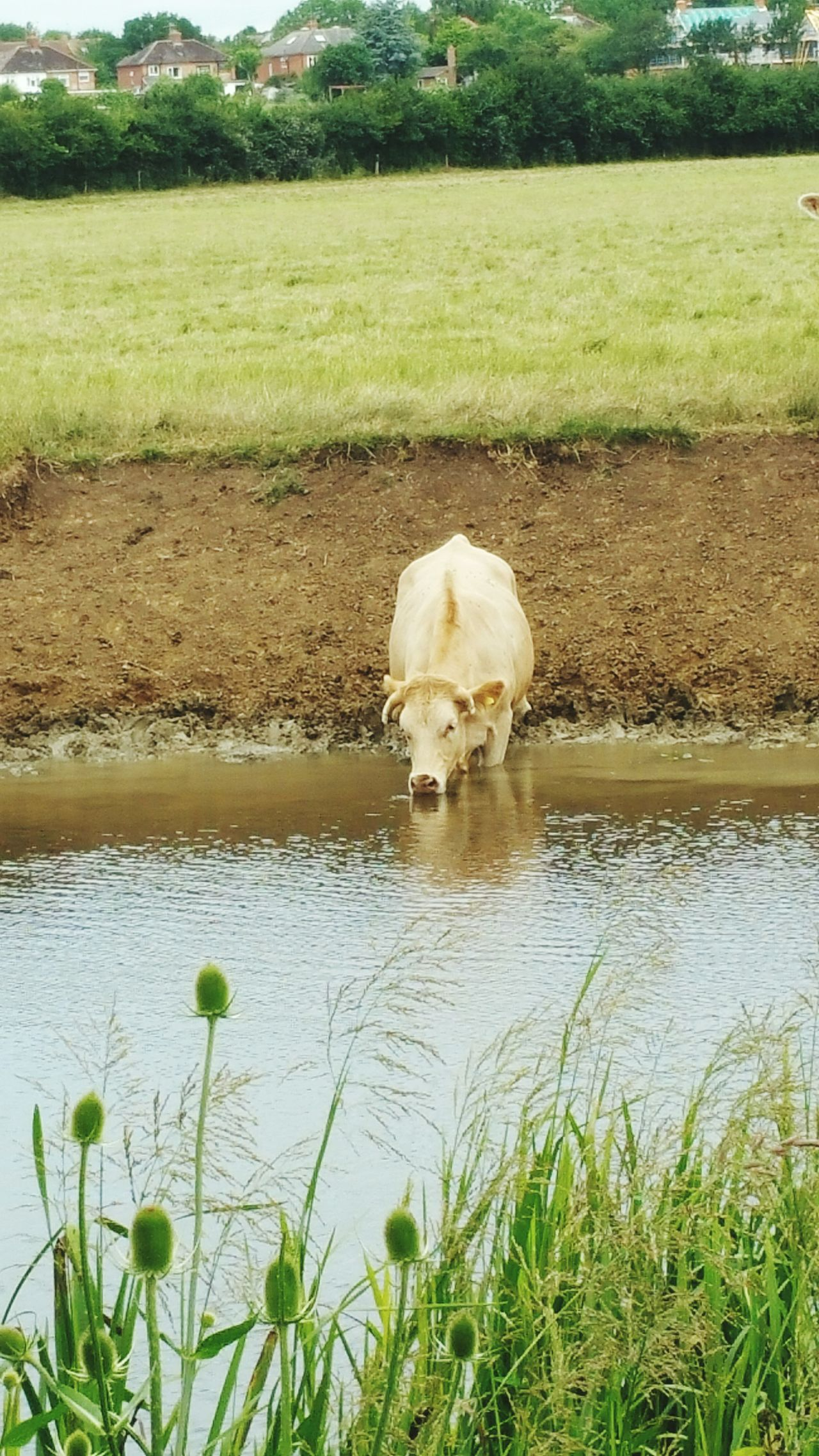 Cow Nature Nature_collection Nature Photography Bovine Drinking Water Lead A Cow To Water Stony Stratford