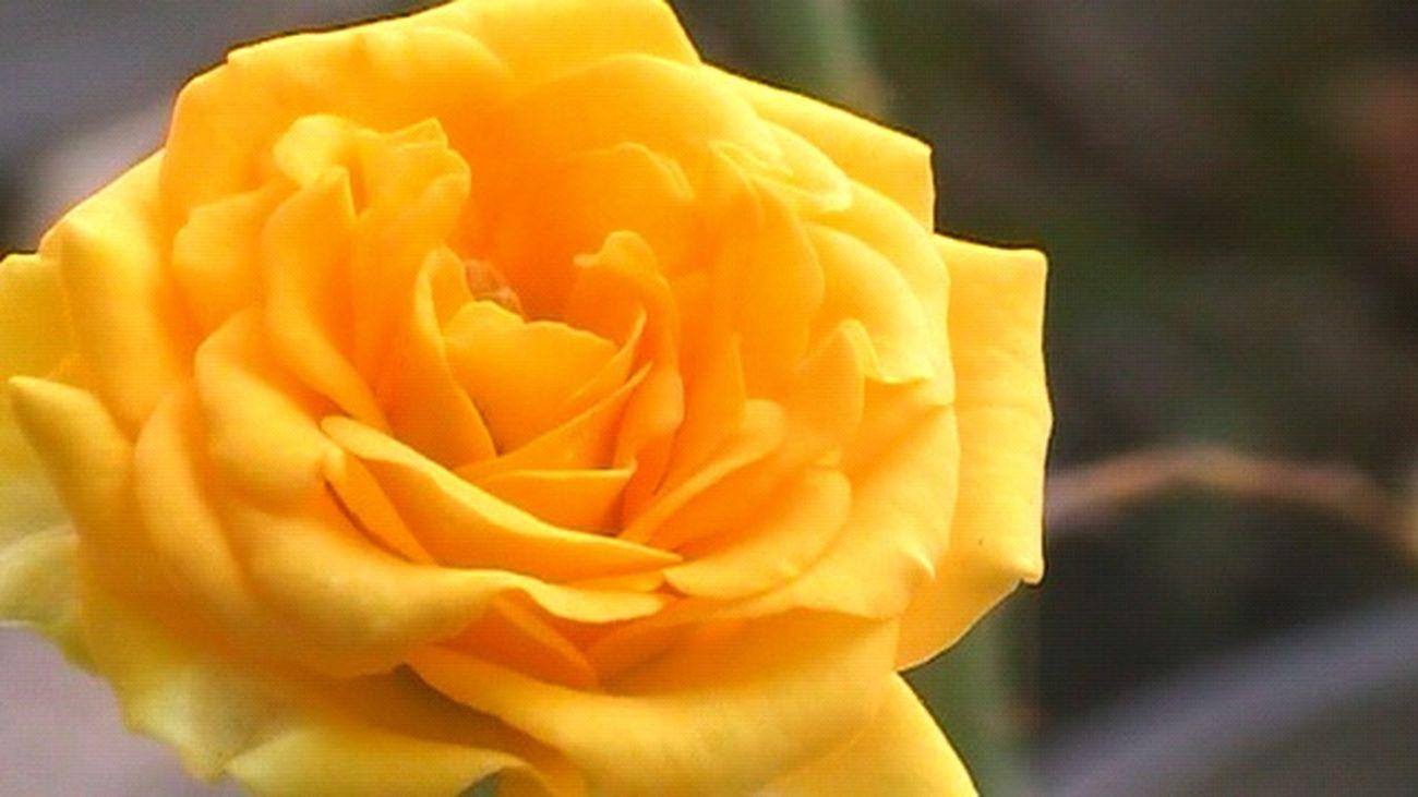 Flower Flowerporn Rose - Flower Yellow Rose Flower Collection Flowers,Plants & Garden Taking Photo Getting Inspired Eye4photography  EyeEm Nature Lover EyeEm Gallery INDONESIA