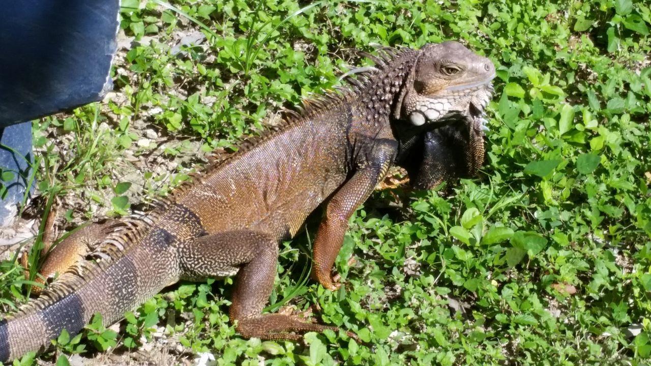 Ponce,Puerto Rico Reptile Iguana