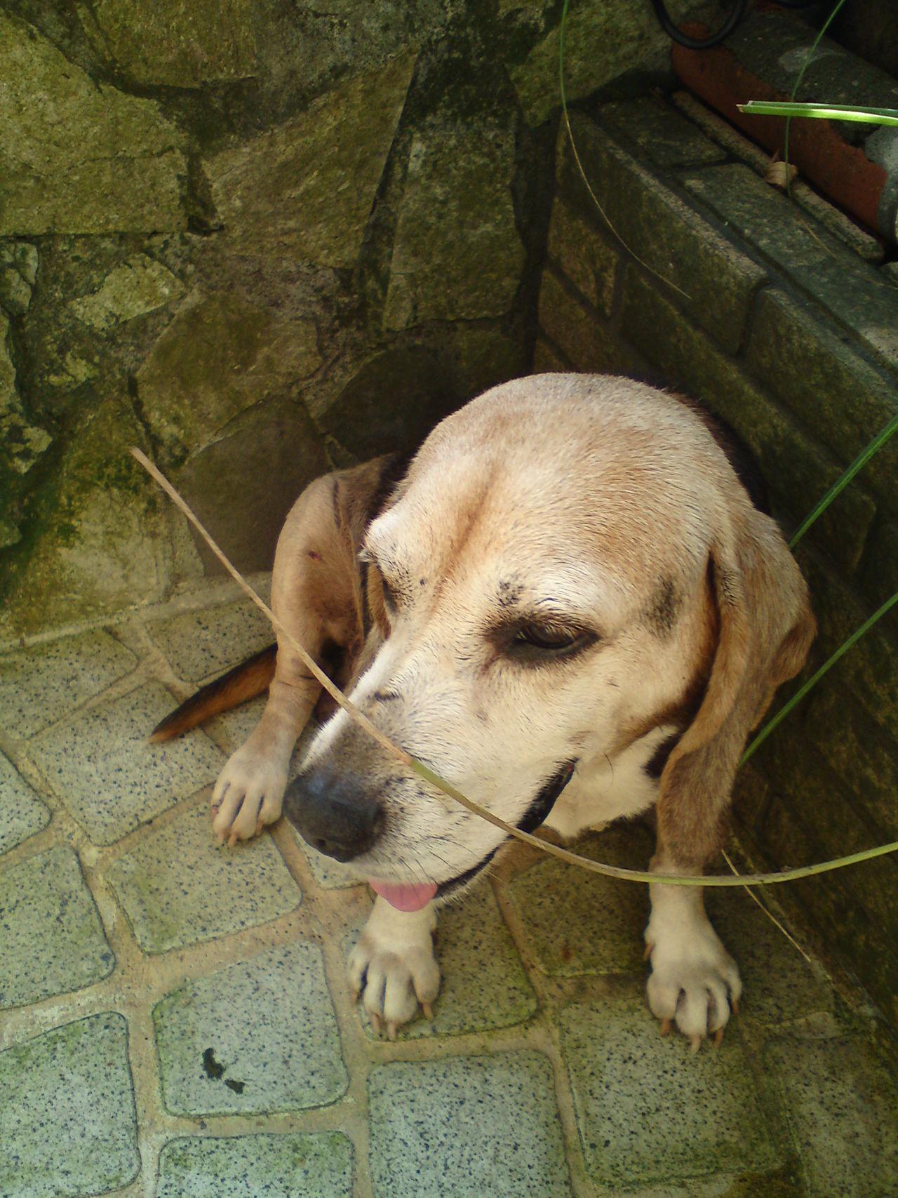 My love - Pingu, Taken with W995 Beagle Dog❤ Dog Beaglelove W995