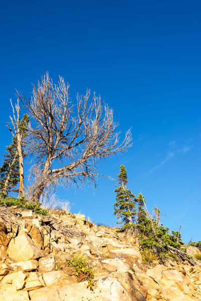 View of rugged looking trees in a harsh environment in the Beartooth Mountains near Red Lodge, Montana Alpine Beartooth Beartooth Highway Beartooth Mountains Beartooth Pass Forest Highway Landscape Montana Mountain Range National Forest National Park Nature Park Red Lodge Red Lodge, Montana Road Shoshone Shoshone National Forest Wilderness Wyoming