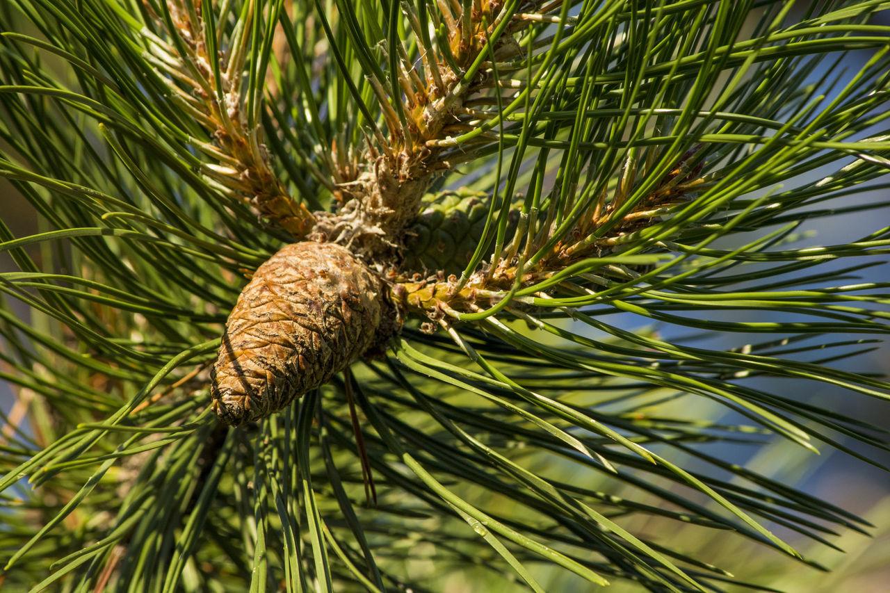 A golden pinecone on the tree Arboles Bosque Conifer  Conifera Coniferous Tree Conifers Downers Forest Golden Grove Illinois Pinecone Pinecones Rodrigo  Rodriguez Summer Sunny Sunset Tree Trees árbol