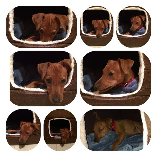 Minidoberman Minidobermanpinscher Dogs Puppy Sira... My crazy dog